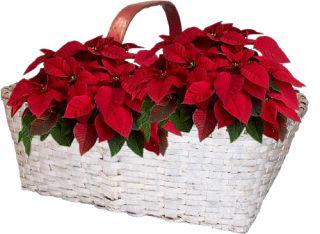 Imágenes, Frases y Reflexiones: Nochebuenas navideñas en png