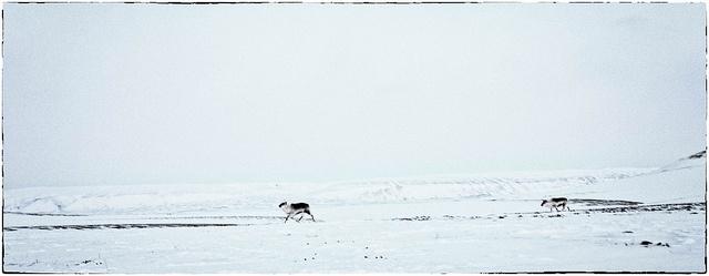 Svalbard Reindeers