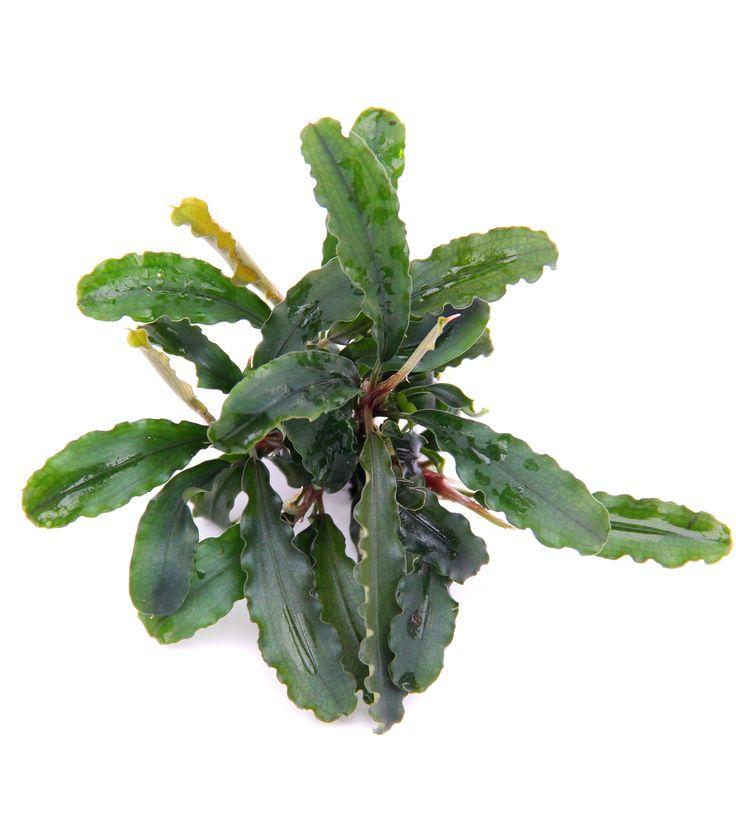 Bucephalandra, un nuovo genere di piante per l'acquario che sta conquistando tutti gli appassionati!