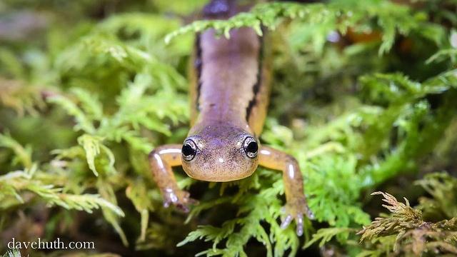 Two lined salamander (Eurycea bislineata)