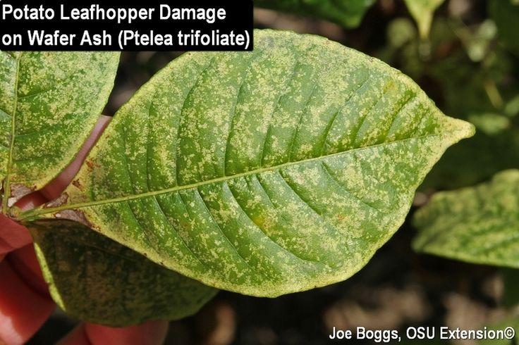 Potato Leafhopper Damage on Wafer Ash