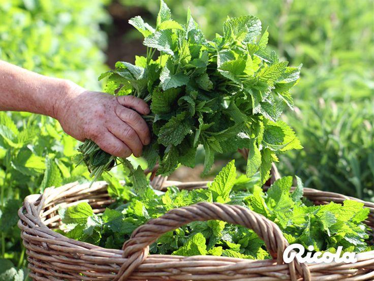 #Herbs #Harvest #Ricola