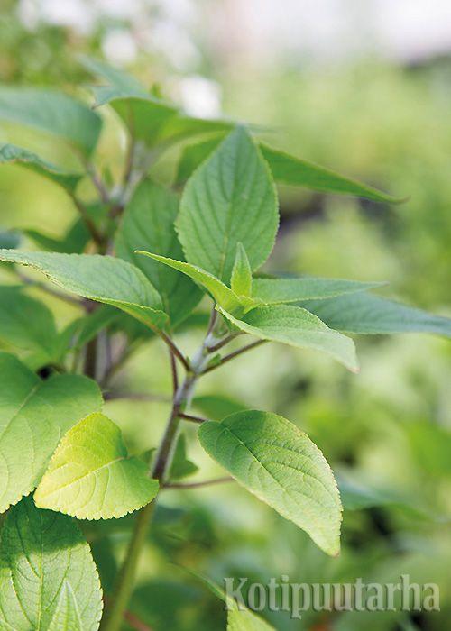 Ananassalvian (Salvia elegans) hedelmäinen maku sopii esimerkiksi jääteehen, hedelmäsalaattiin ja pitsan päälle. Reheväkasvuinen ananassalvia pitää talvettaa viileässä varastossa. Kasvi lisätään pistokkaista. Saatavana on myös melonilta maistuva lajike. http://www.kotipuutarha.fi/puutarhavinkit/kasvata-herkkuja/yrttien-kasvatus.html
