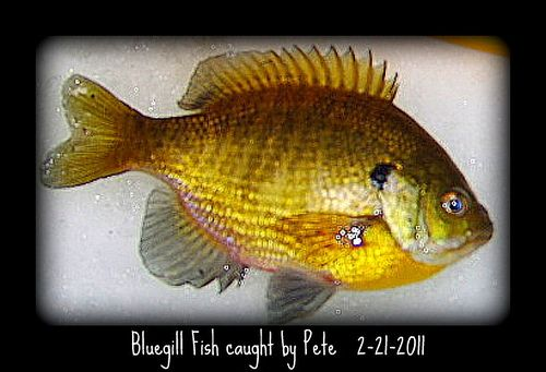 Pinterest the world s catalog of ideas for Bluegill fishing tackle