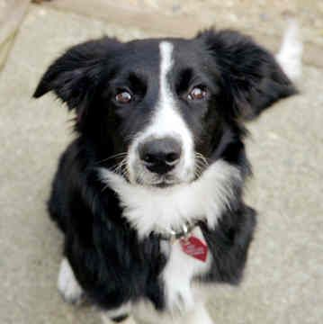 Border Collie My goodness are they cute.  My dog is most definitely a Border Collie. ;)