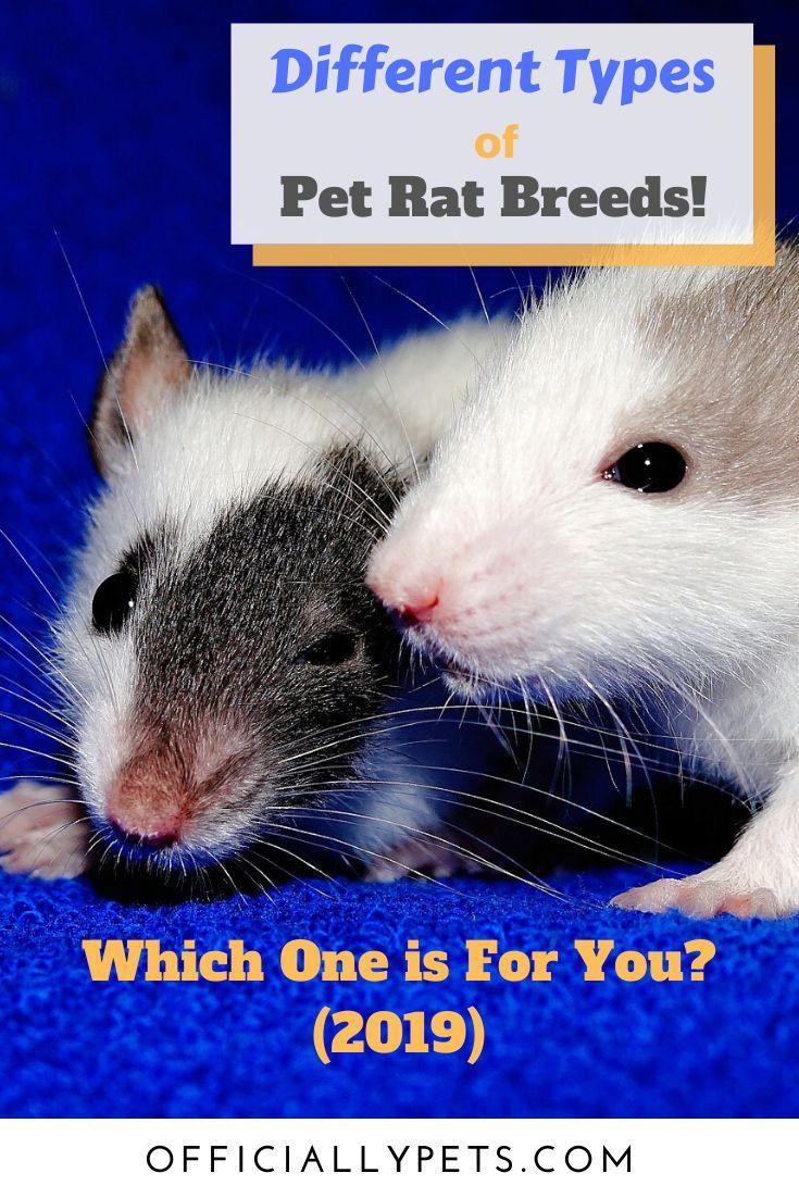 Pet Rats Breeds Mammals in 2020 | Pet rats, Pets, Pet advertising