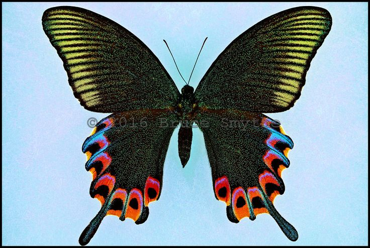 Papilio Hermeli -Female -Mt. Halkon, Mindoro Island, Philippines -(4.25 in wingspan)