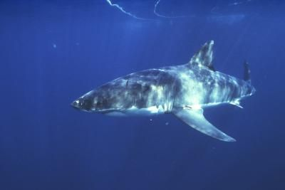 Nature's Most Dangerous Sharks