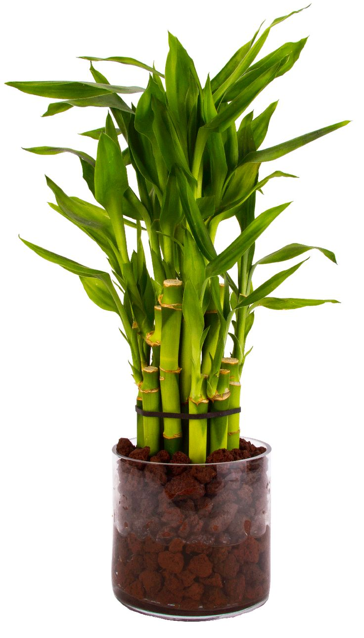 Best images about lucky bamboo on pinterest ceramic