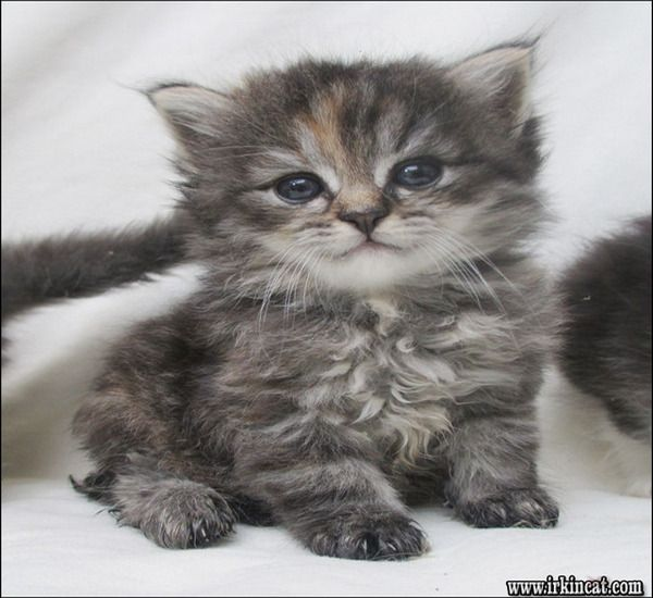 Facts Fiction And Siberian Kitten For Sale In 2020 Siberian Kittens Siberian Kittens For Sale Kitten For Sale