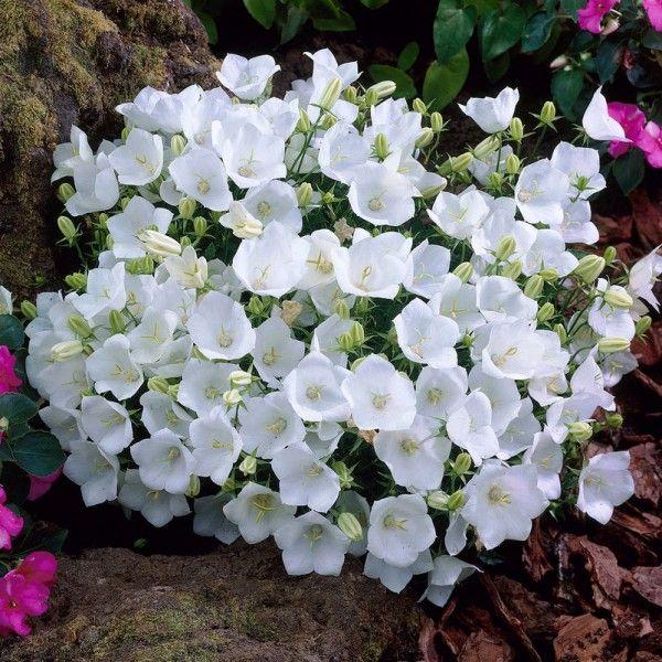 Pflanzen-Kölle Karpaten-Glockenblume weiß, 9 cm Topf.  Pflegeleichte Staude für Rabatten und Beete mit unglaublicher Blütenfülle in zartem Weiß.