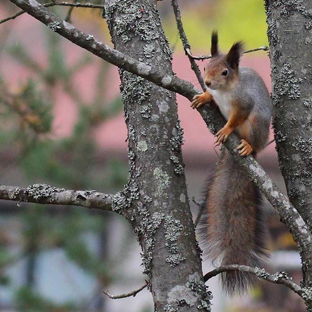 #orava #ardilla #squirrel #nature #naturephotography #canon #canonphotography #wildlife #nofilter #tattisphotos