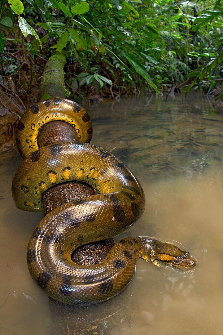 Green Anaconda - What a beautiful animal!