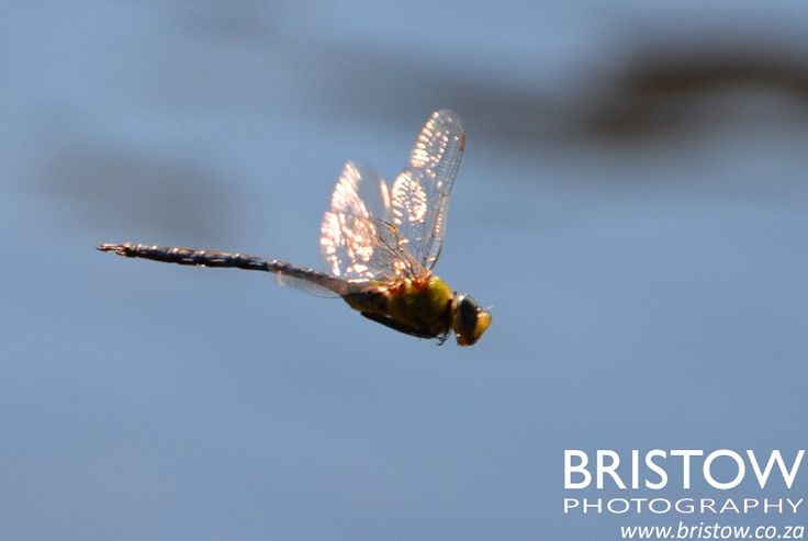 Dragonfly in flight, photographed by Bristow Photography. www.bristow.co.za