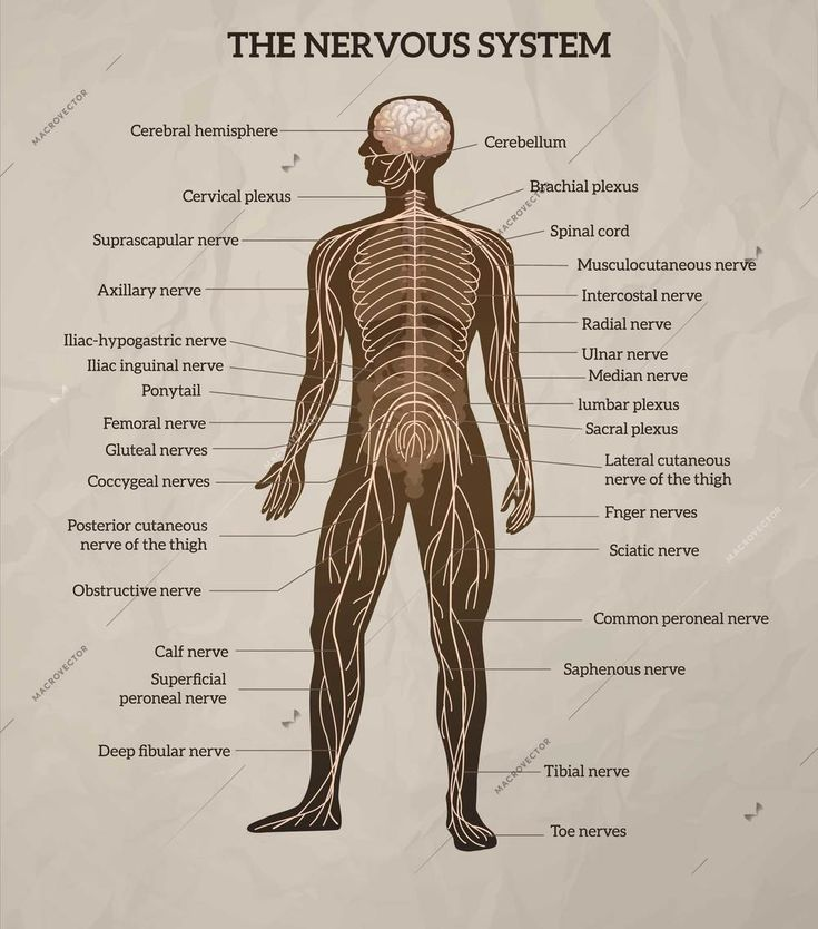 Human body central brain spinal cord and peripheral ...