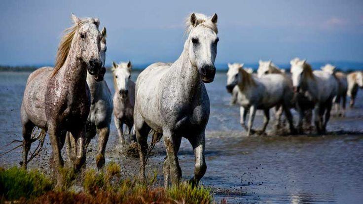 dzikie konie | dzikie konie z bagien camargue dzikie konie z bagien camargue