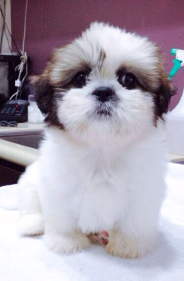 angelbaby shih tzu pin my shih tzu dogs photo 14721851 fanpop fanclubs on 2545