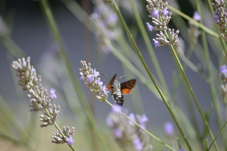 kolibrivlinder op de camping Vallée