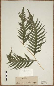 Foto eines von Georg Forster auf Neuseeland gesammelten Farns (Pteris comans), der im Herbarium der Georg-August-Universität Göttingen aufbewahrt wird