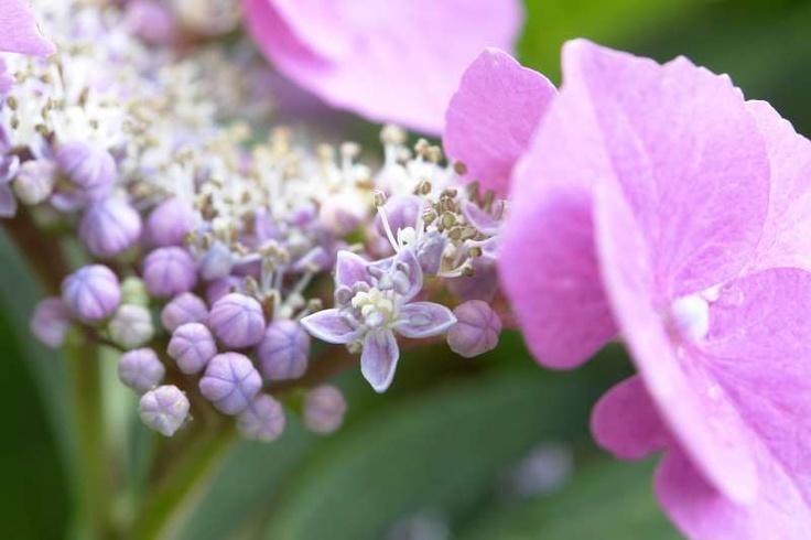 Close-up van een blauw-roze schermbloemige hortensia.