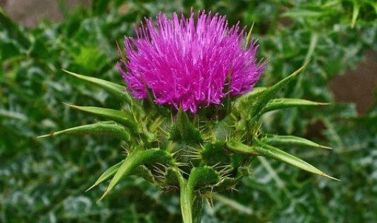 ΘΕΡΑΠΕΥΤΗΣ: Αποτοξίνωση στο πάγκρεας με φαρμακευτικά φυτά