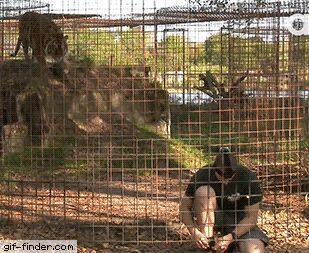 Never turn your back on big cats | Gif Finder – Find and Share funny animated gifs