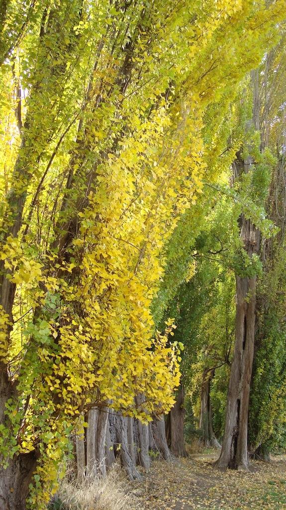 Poplar trees in autumn New Norfolk