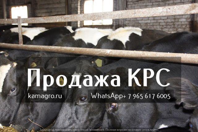 Продажа крупно рогатого скота живым весом оптом. https://www.kamagro.ru/   ООО КамАгро - продажа КРС по РФ и СНГ : - WhatsApp : +7 (965) 617-60-05 - Skype : hfbkmm - Viber : +7 (965) 617-60-05 Мы занимаемся продажей племенных и товарных пород КРС живым весом ! За 5 лет было реализовано более 15 000 голов скота по Россий и СНГ!  С нами сотрудничают более 1500 фермеров и Агроферм. Стоимость зависит от веса и возраста животного. Мы перевозим КРС ( крупно рогатый скот) более чем в 500 городов…