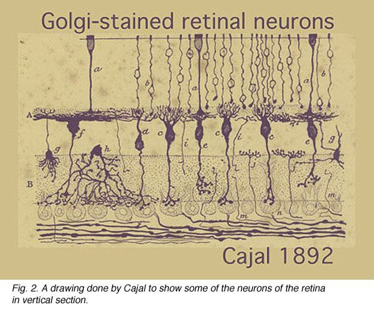 22 Best Ideas About Cajal On Pinterest