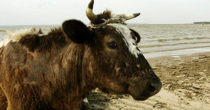 Cómo retirar el centro de los cuernos de las vacas. El uso de los cuernos de vaca tiene una larga historia que data desde la Edad Media, si no es que desde antes. En la Edad Media los cuernos de vaca eran usados para múltiples propósitos: cuernos para beber, polvos, tazas y hasta instrumentos musicales. También se han usado como pólvora en la revolución de Estados Unidos y por los colonizadores. ...