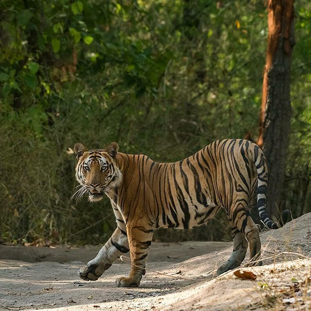 A young tiger from Bandhavgarh stops and gracefull…
