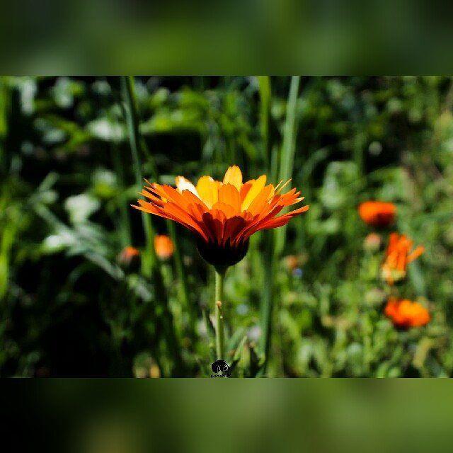 Orange Flower ���� #orange#flower #grass #stem #field #friday #daywithfamily #relax #photography #photo #focus #canon http://tipsrazzi.com/ipost/1500319203570516800/?code=BTSNF3ahINA