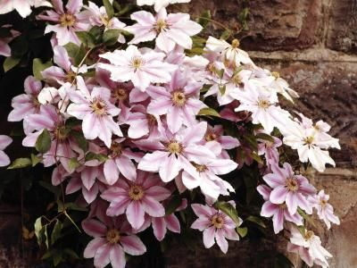 How to Get a Clematis to Grow More Than One Stem Jupiterimages/Photos.com/Getty Images