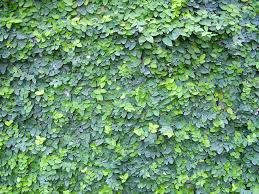 Ficus pumila or Tckey Creeper can attach itself to any porous surface and is an aggressive and beautiful vine. It climbs vertical surfaces and is also well-suited for use as a ground cover, in topiaries or hanging baskets. Evergreen useful as a cover for unattractive walls.