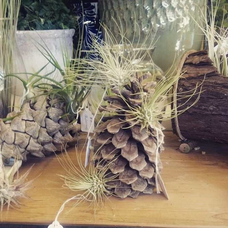 """Displaying the air plant """"Fuchsil v gracilis"""" on a pine cone! Finding creative ways to display tillandsias is half the fun!"""