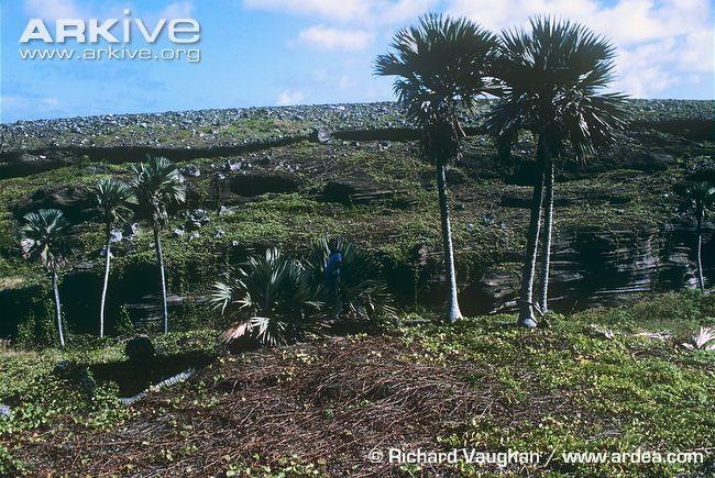 Blue latan palm photo - Latania loddigesii - G55261 | ARKive