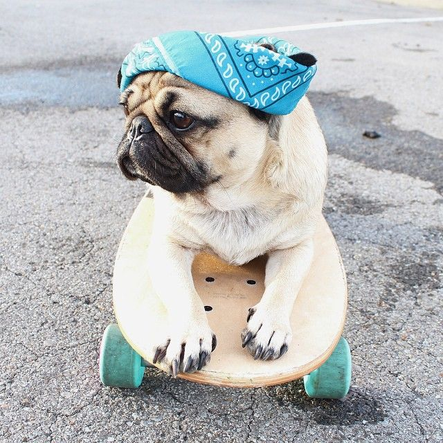 "itsdougthepug: ""I am the pug that your parents warned you about"" -Doug"