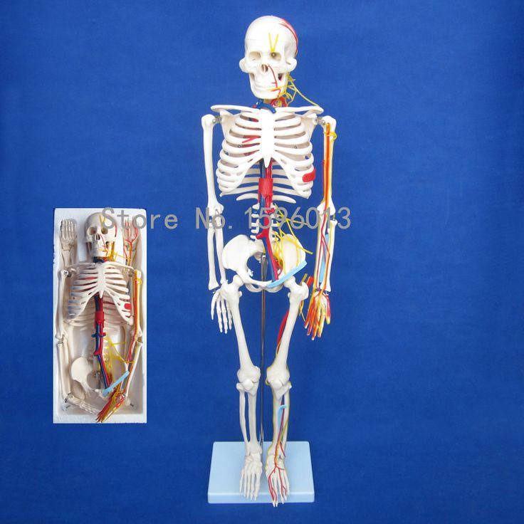 HOT Human 85cm Skeleton with Nerves and Blood Vessels Model, Human Skeleton Model
