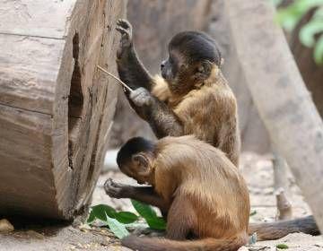 Capuchinos usando ramas como herramientas.