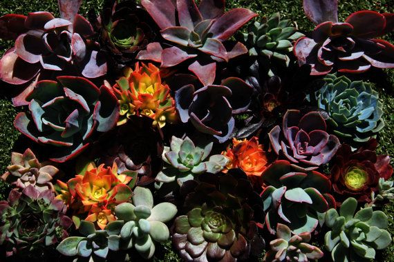 10 large ROSETTE Succulent Cuttings bright colors like shown $25