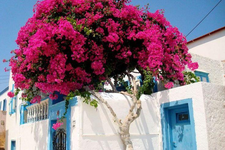 Bougainvillée à bractées rose vif en tant que déco de clôture de jardin d'esprit méditerranéen