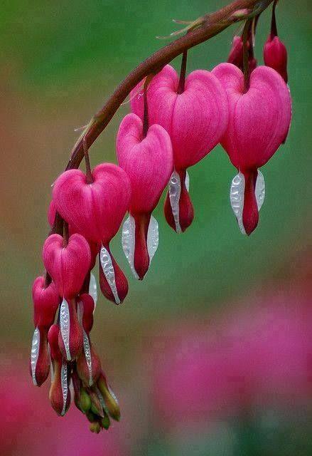 Se llama 'Corazones sangrantes' -flor romántica en forma de corazón.                                                                                                                                                                                 Más