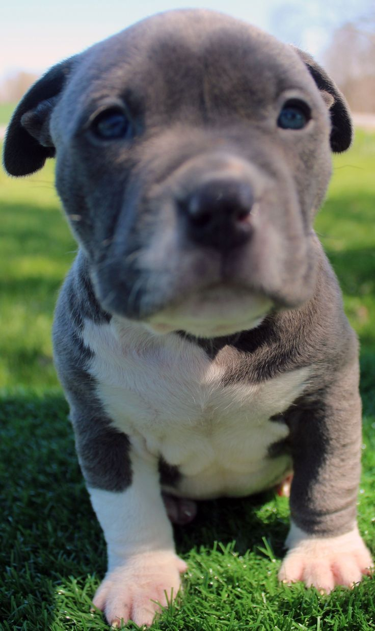 25 Best Ideas About Pitbull Puppies For Sale On Pinterest