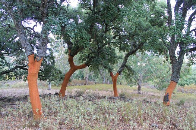Wanneer je via de Sierra de Grazalema van Ronda naar Arcos de la Frontera rijdt, kom je in een schitterend stuk natuur terecht. Het natuurpark in het noorden van de provincies Malaga en Cadiz is door de Unesco erkend als biosfeerreservaat. Op het grijswitte kalkgesteente groeien prachtige Spaanse zilversparren en kurkeiken, en er is een grote variatie aan bloemen, planten en vogels te vinden. Het gebied herbergt zelfs een kolonie van de zeldzame zwarte gier.