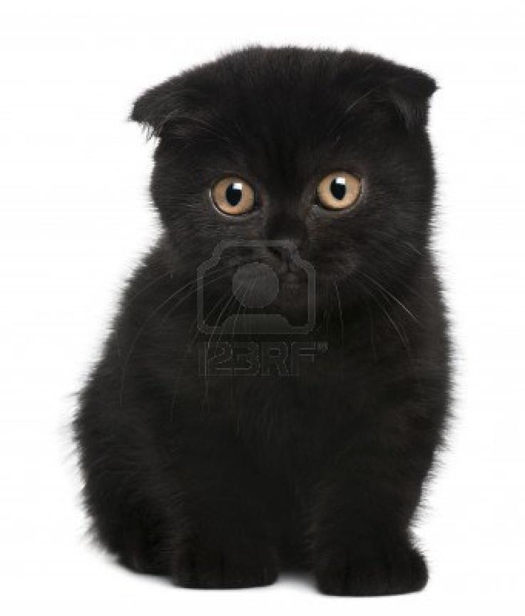 Stock Photo Cat scottish fold, Scottish fold kittens