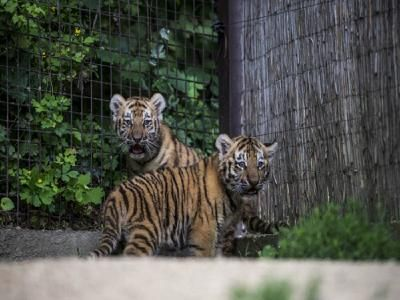 The number of tigers in the Pench Tiger Reserve in Maharashtra has gone up to 53, according to the latest figures provided by the State Forest Research Institute (SFRI). The SFRI has recently informed about the rise in tiger population to the authorities of Pench Tiger Reserve.