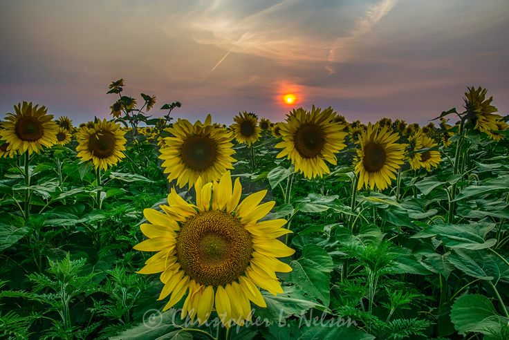 Another Sunflower Sunset, Central IL.