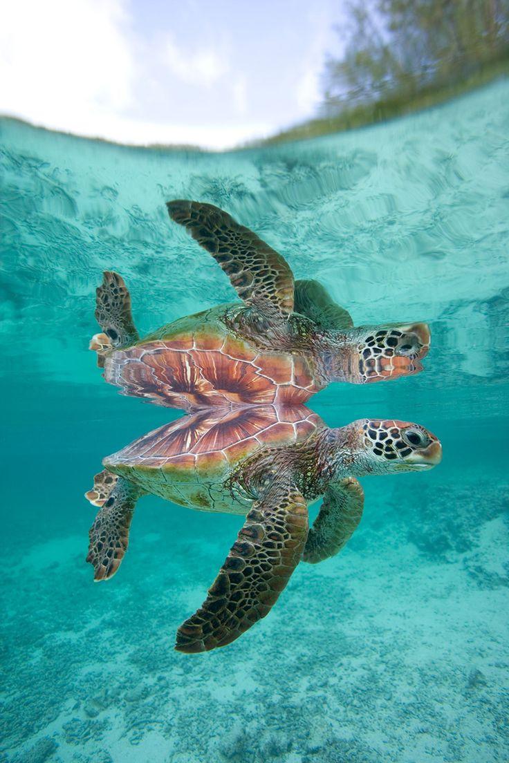 Tortue sous l'eau / photo JL Klein & ML Hubert                                                                                                                                                                                 Plus