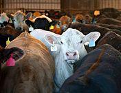 """Geo 25.6.2012 """"Wir müssen weg von der Tierhaltung"""" Eine Studie der Universität Wien zeigt, dass die Klimabilanz von Fleisch wesentlich schlechter ist als bislang angenommen. Demnach verursacht ein Kilogramm brasilianisches Rindfleisch dieselben Treibhausgas-Emissionen wie eine Autofahrt von 1600 Kilometern in einem Mittelklassewagen. Schuld ist der hohe Flächenverbrauch der Nutztierhaltung."""