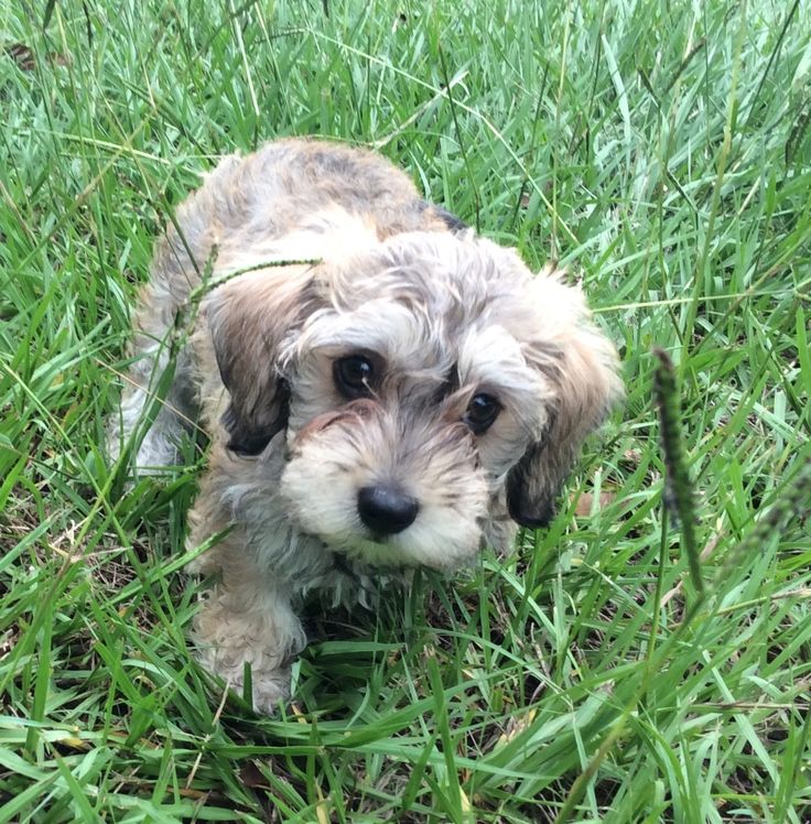 Luna, our 8 week old Mauxie (miniature Dashchund/miniature Maltese) puppy.